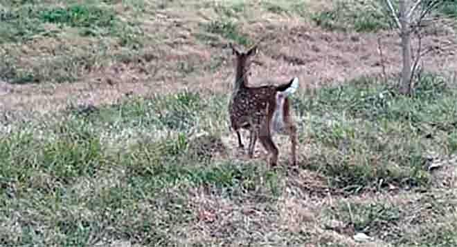 bambi-1b